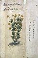Japanese Herbal, 17th century Wellcome L0030120.jpg