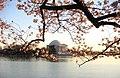 Jefferson Memorial framed by cherry blossoms - Flickr - eyspahn.jpg
