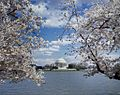 Jefferson Memorial with cherry blossoms12500v.jpg