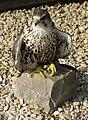 Jielbeaumadier faucon sacre 2 provins 2011.jpg