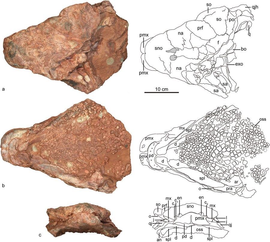 Jinyunpelta skull
