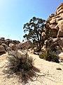 Joshua Tree Nationalpark Hidden Valley Nature Trail IMG 20180413 150945.jpg
