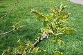 Juglans nigra (Black Walnut) (33613803304).jpg