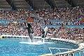 Jumping Orcas at Marineland, Antibes, France.jpg