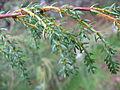 Juniperus brevifolia (Leafs).jpg
