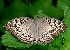 Junonia atlites by kadavoor UP.jpg