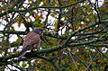 KESTREL, Falco tinnunculus (In Explore ^73) - Flickr - pete. ^hwcp.jpg