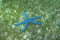 Kalanggaman Island Blue star (Linckia laevigata).jpg