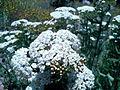 Karandila Achillea millefolium01.jpg