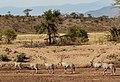 Kenya, Safari (44299246530).jpg