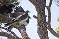 Kererū New Zealand Pigeons Mating (1 of 4).jpg