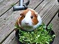Kina-chan munching cilantro - Flickr - shimown.jpg