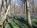 King's Wood in Bluebell season 08.JPG