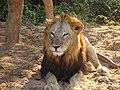 King of Jungle in Nandankanan Zoological Park.jpg