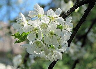 Prunus avium - Flowers