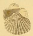 Kobelt1891 pl3 fig7 Tegillarca granosa.png