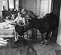 Koeien in de huiskamer in Sloten, Bestanddeelnr 905-0130.jpg