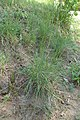 Koeleria macrantha kz05.jpg