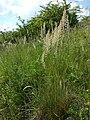 Koeleria macrantha sl2.jpg
