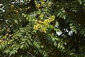 Koelreuteria paniculata D.jpg