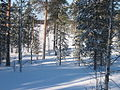 Kortteenperä forest in winter.jpg