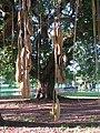 Kp Sausage tree fruits IMG 8818 (2214367102).jpg