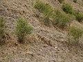 "Kunzea robusta ""East Cape variant"" (AM AK299002).jpg"
