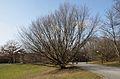 Kurpark Oberlaa 10 - carpinus betulus.jpg