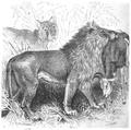La vita degli animali descrizione generale del regno animale di A. E. Brehm Mammiferi (1872) Leo senegalensis.png