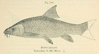 Scaly yellowfish species of fish