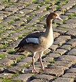 Ladenburg Wasservogel.jpg