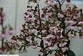 Lagerstoemia indica Burgundy Cotton 2zz.jpg