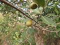 Lagerstroemia parvifolia 03.JPG
