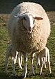 Lambs in spring (3382333155).jpg