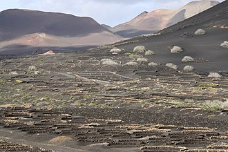 Listán negro - On the island of Lanzarote, Listán Negro vines are planted in hollow pits that are surrounded by stone walls.