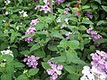 Lantana from Lalbagh flower show Aug 2013 8038.JPG