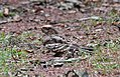 Large-tailed Nightjar female C. m. bimaculatus I IMG 9628.jpg