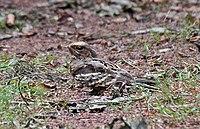 Large-tailed Nightjar female C. m. bimaculatus I IMG 9628