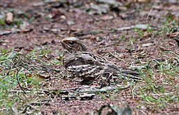 Large-tailed Nightjar female C. m. bimaculatus I IMG 9628