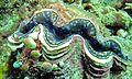 Large Giant Clam (Tridacna maxima) (6059116842).jpg