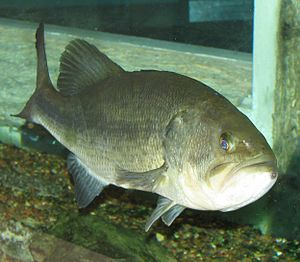 Largemouth Bass 001.jpg