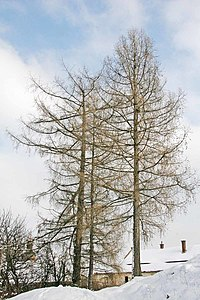 Larix decidua Winter.jpg