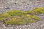 Last excursion of our trip, at Elephant point on Livingston Island.the first green we've seen for a couple of weeks. (26016040825).jpg