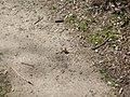 Laubfalter, 03.04.14 - panoramio.jpg