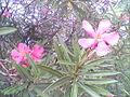Laurel rosado.jpg