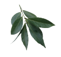 Laurus nobilis leaves.png