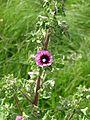Lavatera arborea - Flickr - peganum (3).jpg