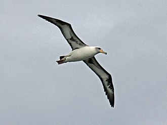 Laysan albatross - Image: Laysan Albatross RWD3