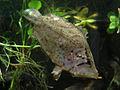 Leaf fish - California Academy of Sciences.jpg