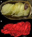Leafcutter bee pupae.png